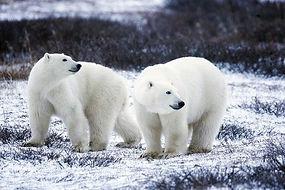 北極熊 - 15 - pixa.jpg