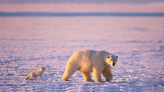 Arctica Fox & Polar Bear-1.jpg