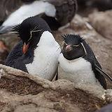 Rockhopper_Penguin.JPG