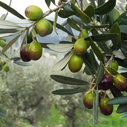 Bonacci EVOO Olives