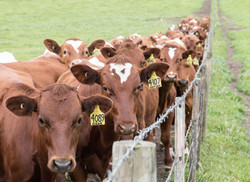 A queue of yearling heifers.