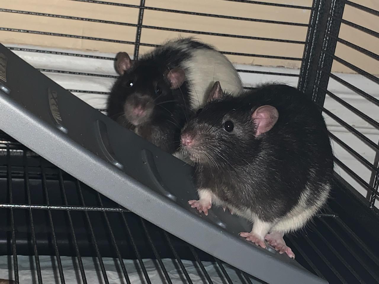 black rat 2
