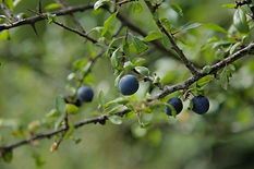 _29A9450Blackthorn Prunus spinosa.jpg