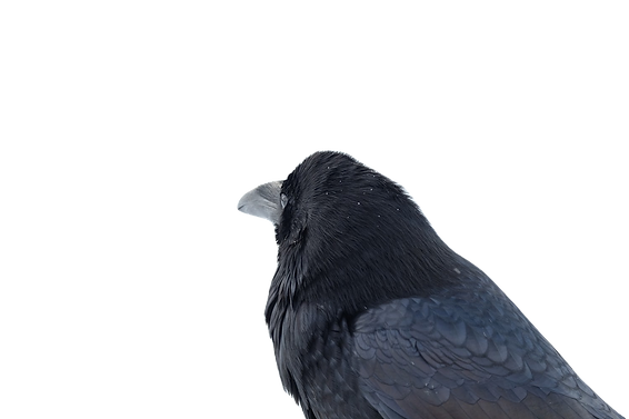 Raven Crow_edited.png