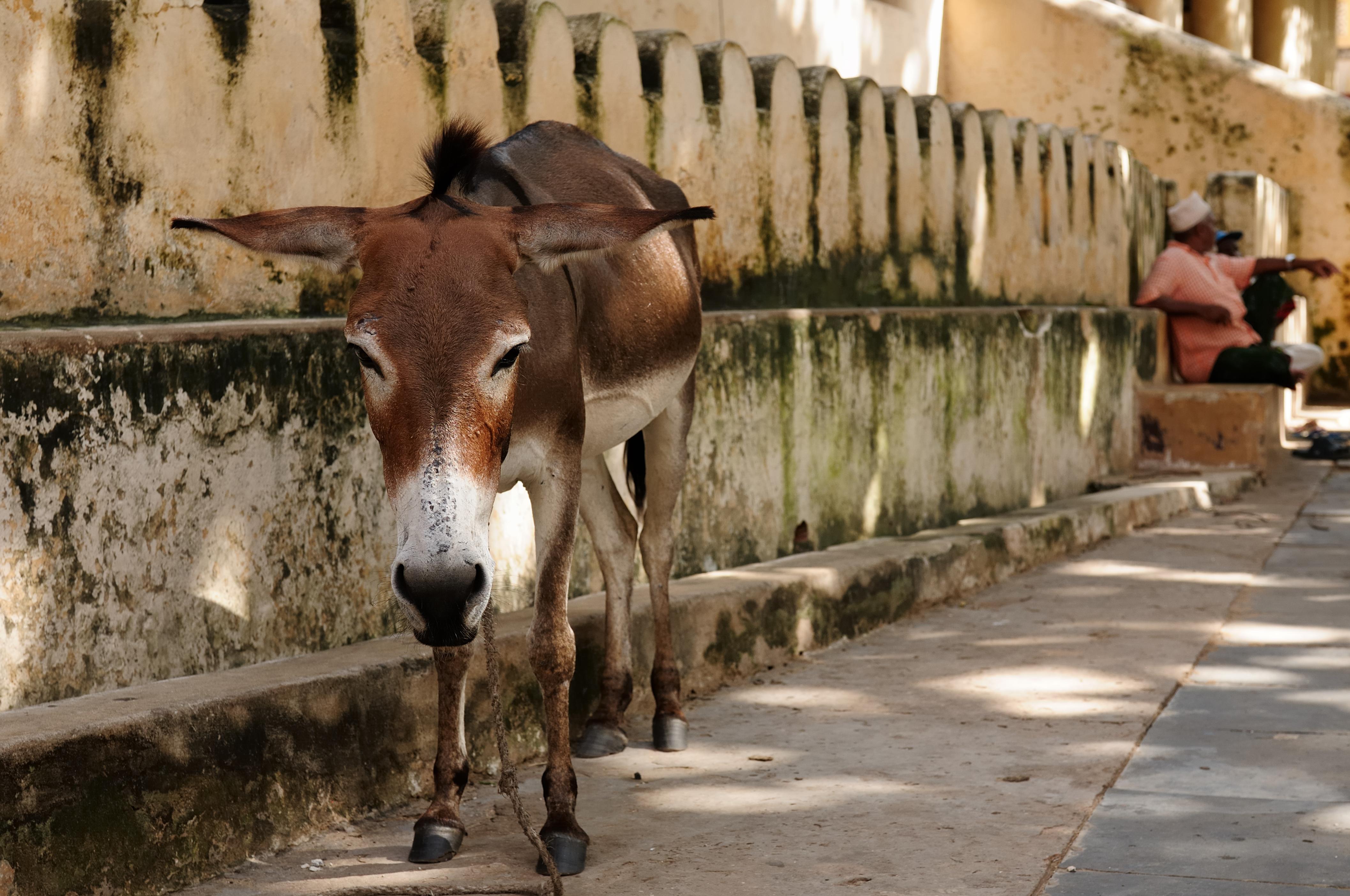 Lamu Donkey