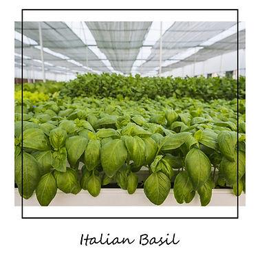 Italian_Basil.jpg