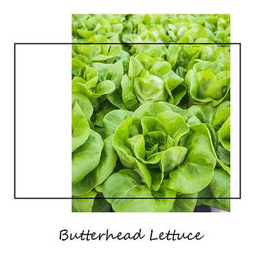 Butterhead_Lettuce.jpg