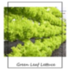 Green_Leaf_lettuce.jpg