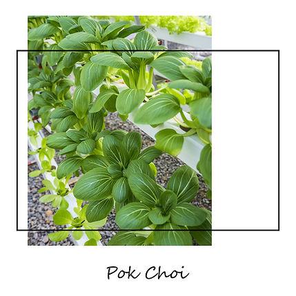 Pok-Choi.jpg