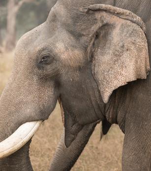 Indian Elephant Portrait, Bandhavgarh National Park, India