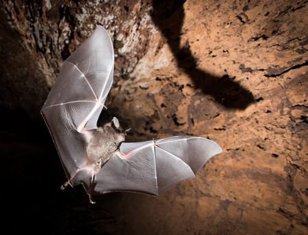 Bat In Flight, photographed along Madre de Dios River, Peruvian Amazon Rainforest