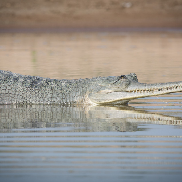Gharial in Shallow Water