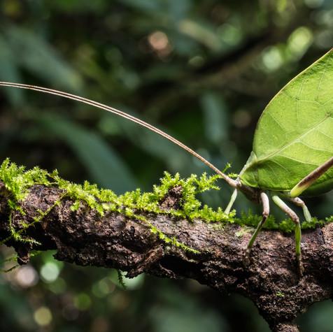 Leaf Mimic Katydid on the Move