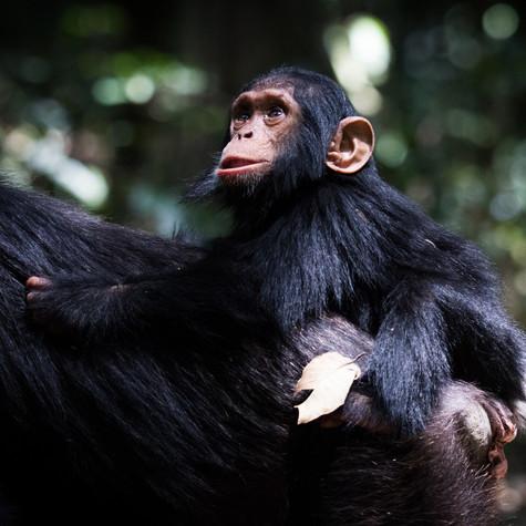 Taking A Ride! (Pan troglodytes) Uganda