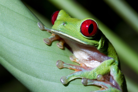 Red-eyed Tree Frog, Bocas del Toro, Panama