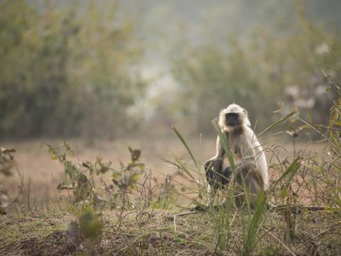 Northern Plains Gray Langur, Tiger Photography Workshop/Safari