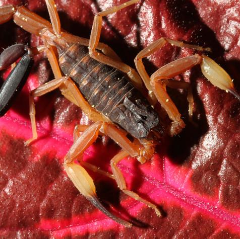 Scorpions of Colour