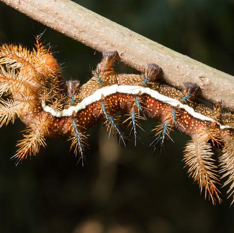 Caterpillar of Fire