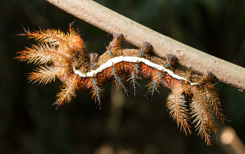 Caterpillar of Fire, photographed along Tambopata River, Peruvian Amazon Rainforest
