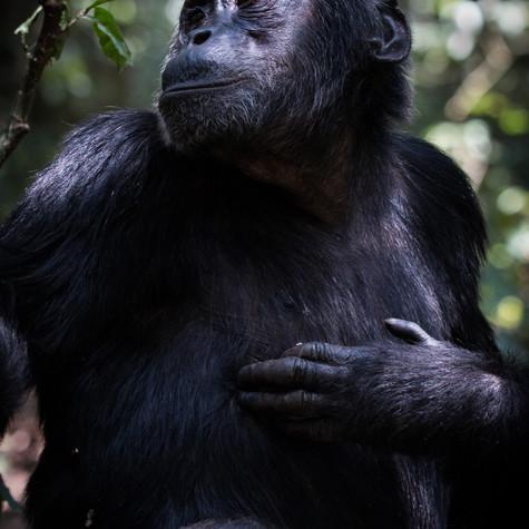 Who's Over There (Pan troglodytes) Uganda
