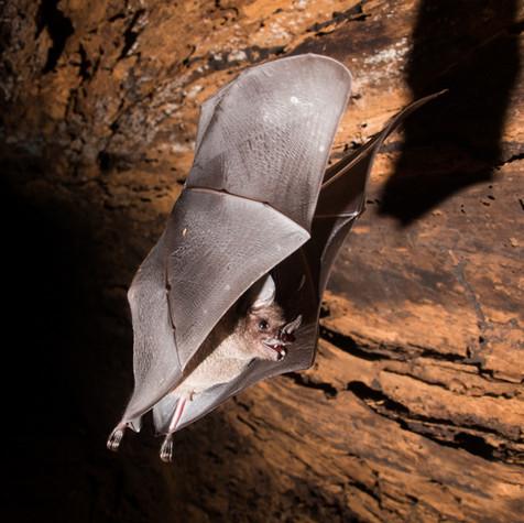 Bat in Flight (Carollia perspicillata)
