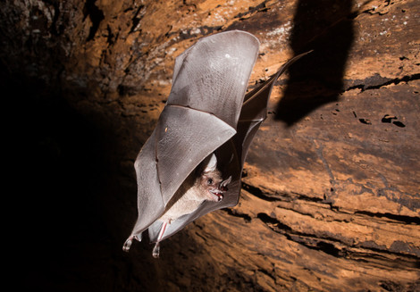 Bat In Flight, photographed along Tambopata River, Peruvian Amazon Rainforest