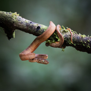 Amazon Tree Boa, photographed along Tambopata River, Peruvian Amazon Rainforest
