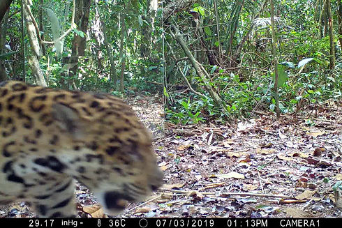 Male Jaguar (Pantera Onca) approaches a mirror for the first time and the results are amazing. Mirror Image Stimulation Study and the competetive recognition behaviors of Neotropical Big Cats