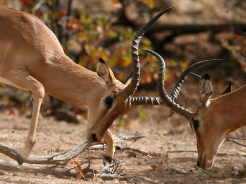 Fighting Impala, Vic Falls - Chobe - Okavango Delta Photo Workshop/Safari