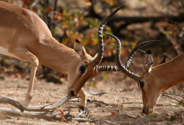 Rutting Impalas - Botswana