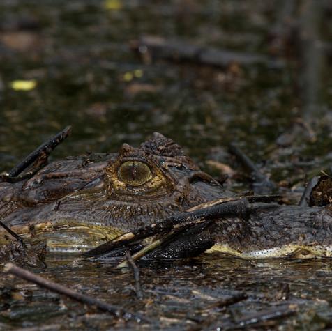 Spectacled Caiman (Caiman crocodilus)