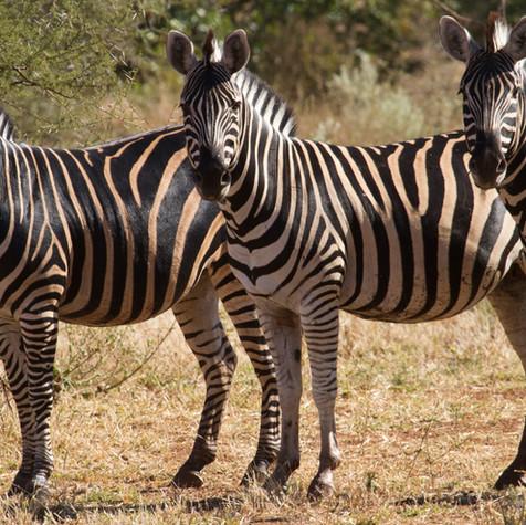 Burchell's Zebra's (Equus quagga)
