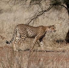 Cheetah (Acinonyx jubatus) Chobe, Botswana