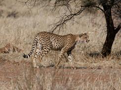 Cheetah, Exclusive Charter Houseboat, Chobe River, Botswana