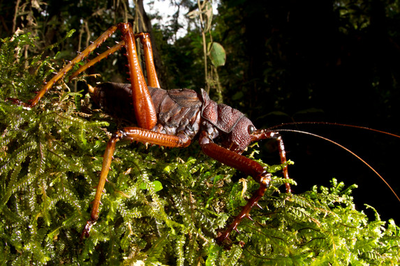 Lobster Katydid on the Hunt! Yasuni National Park, Ecuador