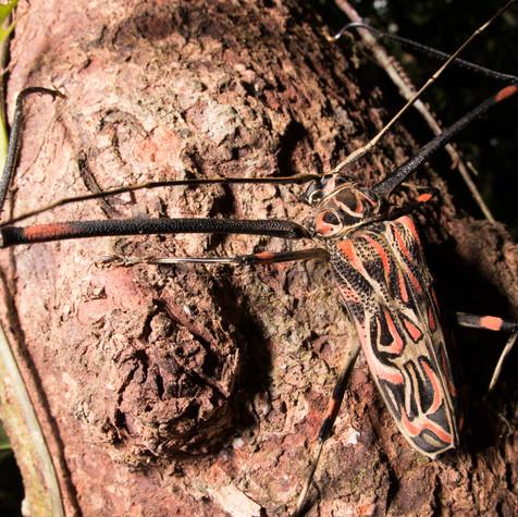 harlequin beetle on a Mission