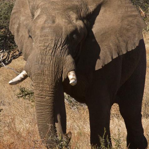 Old Bull African Elephant (Loxodonta)