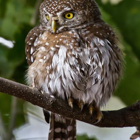 Pearl-spotted Owl (Glaucidium perlatum)