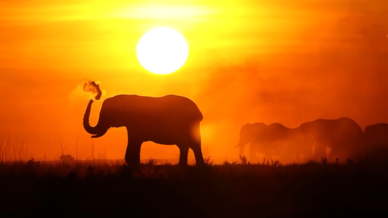 African Elephant in the Sunset - The Chobe, Botswana