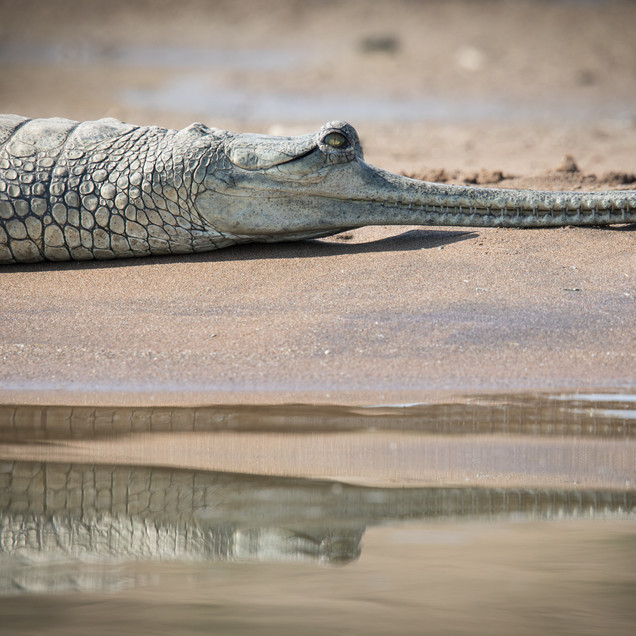 Gharial in The Mirror