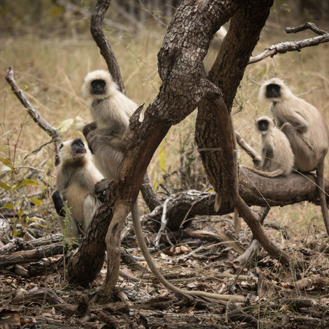 Northern Plains Gray Langurs
