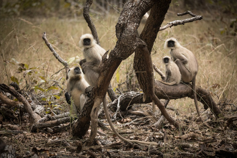 Northern Plains Gray Langurs, Bandhavgarh National Park, India