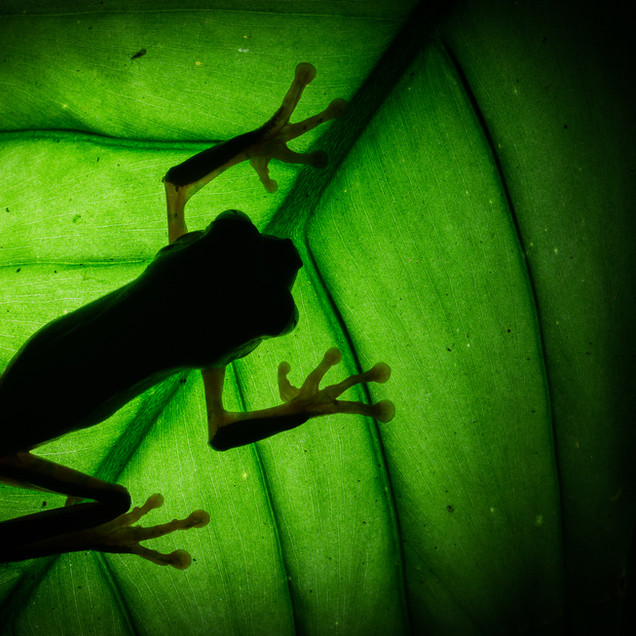 Shadows of The Barred Leaf Frog (Phyllomedusa tomopterna)