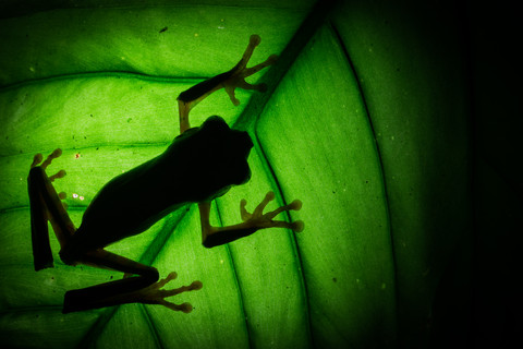 Shadows of The Barred Leaf Frog, Rainforest of Peru, Tambopata