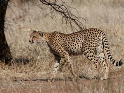 The Cheetah, African Wildlife Photography Workshop/Safari, Chobe, Botswana