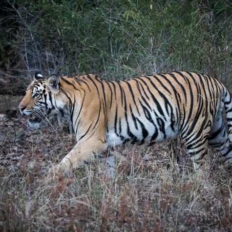 Wild Bengal Tiger