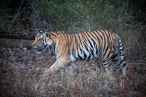 Wild Bengal Tiger, Ranthambore National Park, India