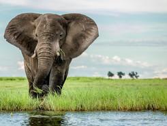 African Elephant, African Wildlife Photography Workshop/Safari, Chobe, Botswana