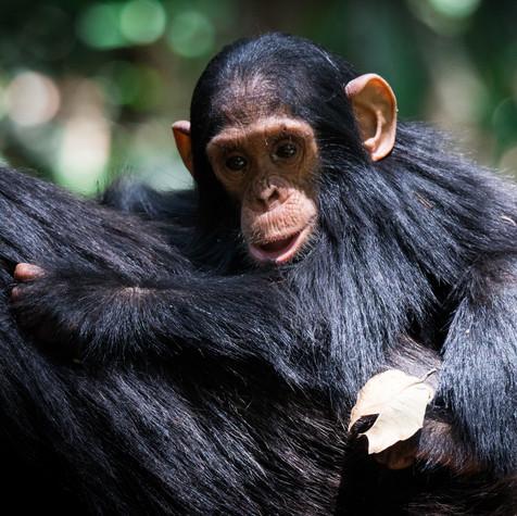 Mother and Baby (Pan troglodytes) Uganda