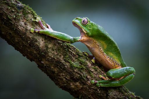 Giant Waxy Monkey Tree Frog,photographed along Tambopata River, Peruvian Amazon Rainforest